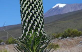 Kilimandscharo mit Lobelie